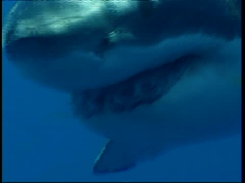 cu great white shark, swims past camera, face and teeth visible, guadalupe island, pacific ocean - hiding stock videos and b-roll footage
