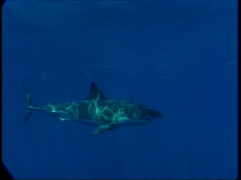 ms great white shark swims past camera in hazy water, high angle, guadalupe island, pacific ocean - aquatic organism stock videos & royalty-free footage