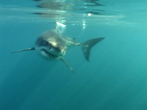 Great white shark (Carcharodon carcharias) swims to camera. Cape Province. South Africa