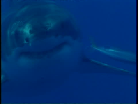 CU Great White Shark, swims to camera in hazy water, head in profile, then swims past camera, Guadalupe Island, Pacific Ocean