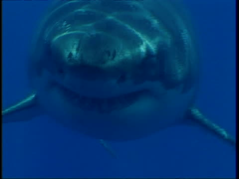 cu great white shark, swims to camera in hazy water, head in profile, then swims past camera, guadalupe island, pacific ocean - shark stock videos & royalty-free footage