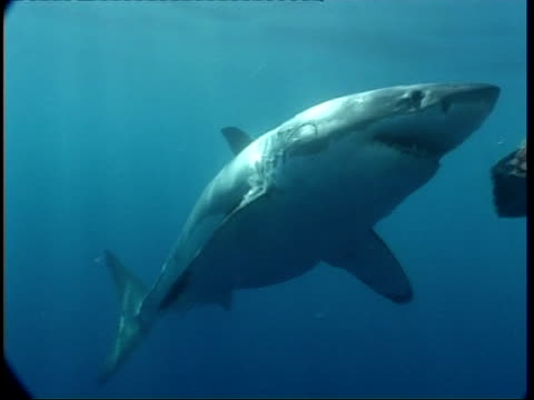 MS Great White Shark swims to camera, turns around and swims away, CU shark attacking bait, Guadalupe Island, Pacific Ocean