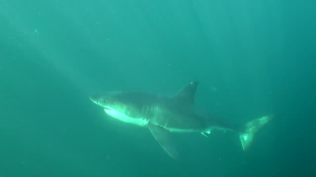 vídeos de stock, filmes e b-roll de great white shark swims up from the deep to attack the hanging bait right in front of the camera, seal island, false bay, south africa. - animals in the wild