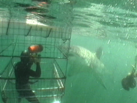 a great white shark (carcharodon carcharias) takes an investigative bite of a shark cage while, within, the cameraman looks on.  shot off the coast of gansbaai, south africa. - cage stock videos & royalty-free footage