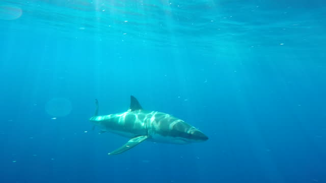 great white shark takes the bait close in and right in front of the cage, guadalupe island, mexico. - tracking shot stock videos & royalty-free footage