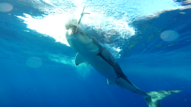 vidéos et rushes de great white shark takes the bait close in and right in front of the cage, guadalupe island, mexico. - cage