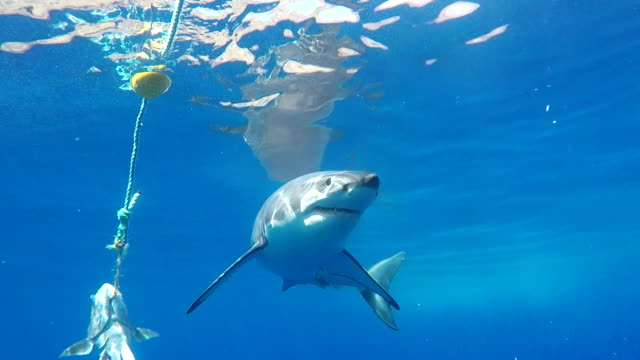 vidéos et rushes de great white shark taking several looks at the bait, guadalupe island, mexico. - cage