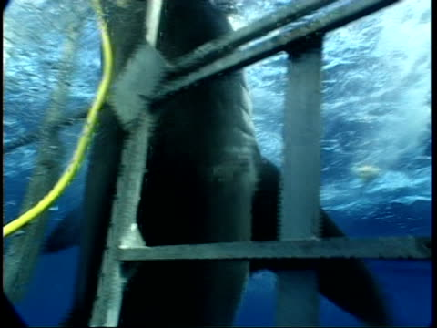 cu great white shark thrashing against shark cage, mexico - cage stock videos & royalty-free footage