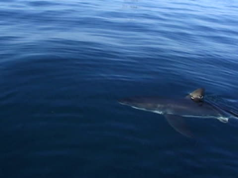 Great white shark (Carcharodon carcharias), topside with diver in water filming. South African waters