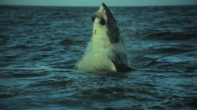 great white shark vertical breach - seals stock videos and b-roll footage