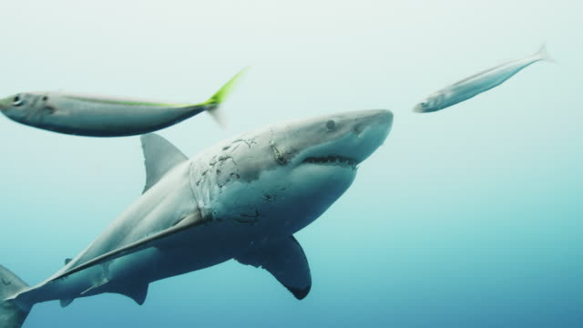 great white shark - hai stock-videos und b-roll-filmmaterial