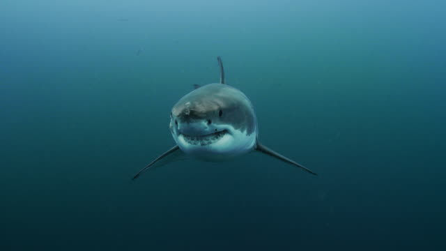 great white shark - shark stock videos & royalty-free footage