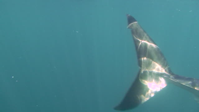 great white shark (carcharodon carcharias) - 2009 stock videos and b-roll footage