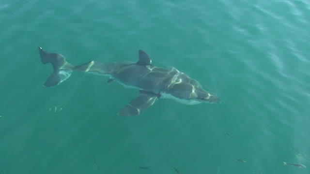 Great White Shark (Carcharodon carcharias