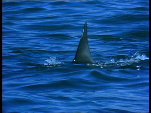 vídeos de stock e filmes b-roll de great white shark's dorsal fin cuts through water surface - barbatana dorsal