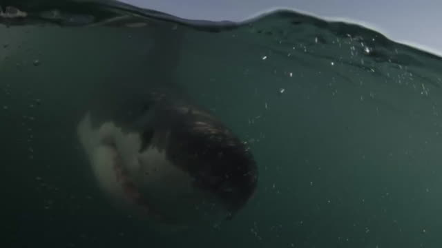 Great White swims to Underwater Camera Dome