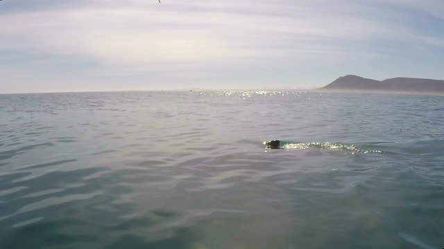 great whites sharks fin slowly breaks the surface of the water, gansbaai, south africa - fin whale stock videos & royalty-free footage