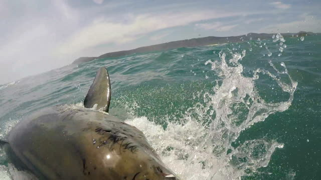 vídeos de stock e filmes b-roll de great whites sharks head out the water already, biting at the bait but just misses, gansbaai, south africa - jaula