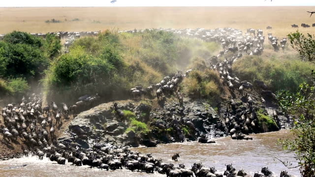 great wildebeest migration and crocodile attack in kenya - wildebeest stock videos & royalty-free footage