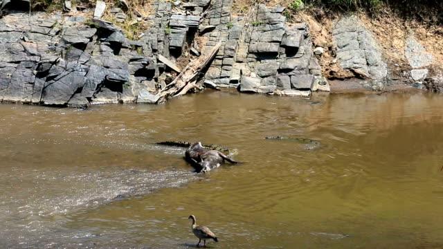 great wildebeest migration in kenya- crocodile feeding - crocodile stock videos & royalty-free footage