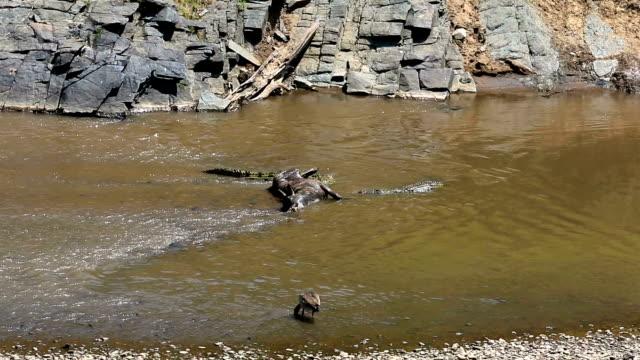 Great Wildebeest Migration in Kenya- Crocodile Feeding