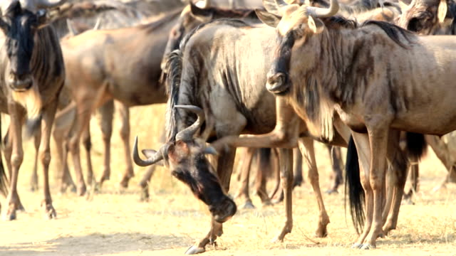 great wildebeest migration in kenya - other stock videos & royalty-free footage