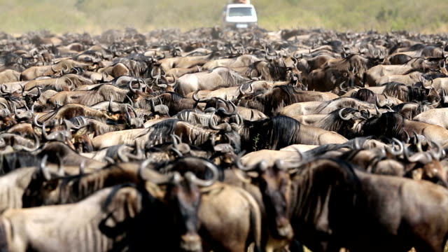 Great Wildebeest Migration in Kenya