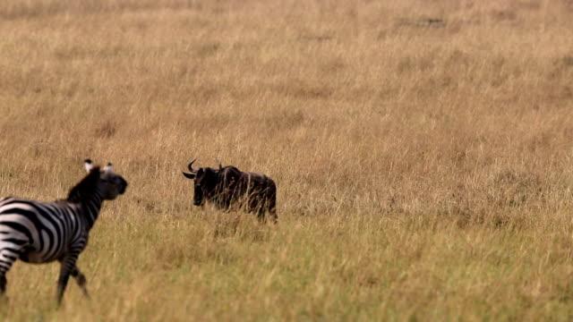 great wildebeest migration in kenya - växtätare bildbanksvideor och videomaterial från bakom kulisserna