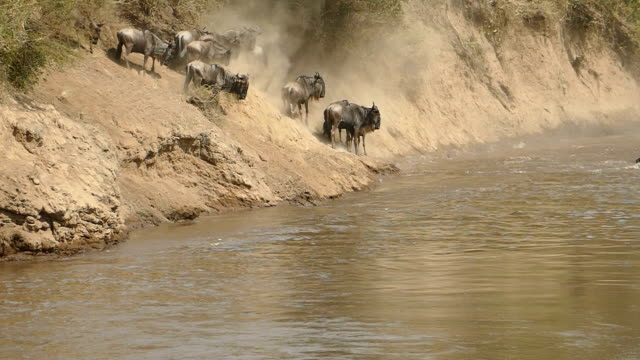 great wildebeest migration in kenya - herbivorous stock videos & royalty-free footage