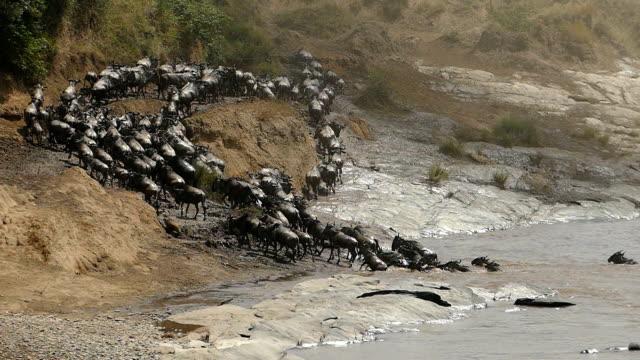 great wildebeest migration in kenya - herbivorous stock videos & royalty-free footage