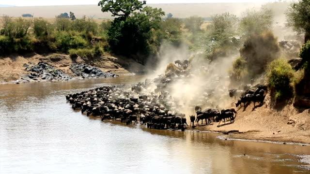 great wildebeest migration in kenya - animal migration stock videos & royalty-free footage