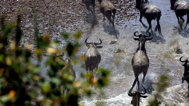 great wildebeest migration in kenya - wildebeest stock videos & royalty-free footage