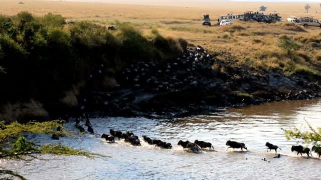 great wildebeest migration in kenya - tourism stock videos & royalty-free footage