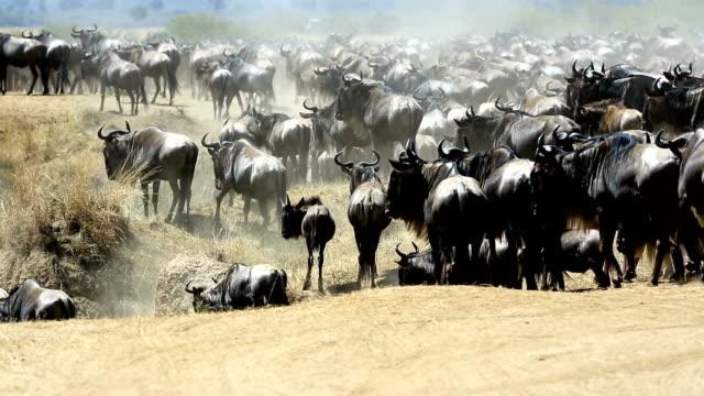 great gnu migration in kenia - kenia stock-videos und b-roll-filmmaterial