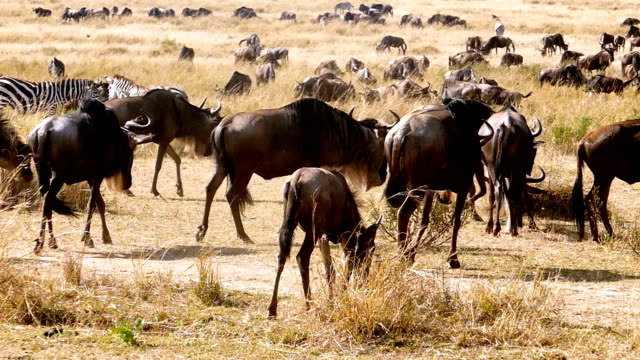 great gnu migration in kenia - antilope stock-videos und b-roll-filmmaterial