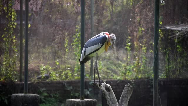 greater adjutant stork inside an enclosure at assam state zoo, on february 14, 2021 in guwahati, india. the assam state zoo-cum-botanical garden... - animal wing stock videos & royalty-free footage