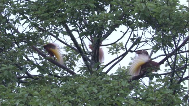 greater and raggiana birds of paradise (paradisaea apoda & p. raggiana) display to females, papua new guinea - papua new guinea stock videos & royalty-free footage