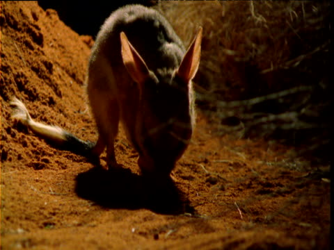 "vidéos et rushes de greater bilby forages in outback at night, western australia - ""bbc natural history"""
