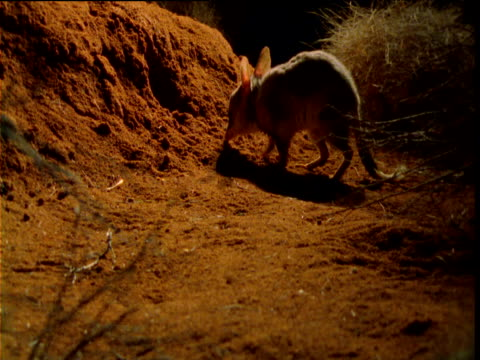 "vidéos et rushes de greater bilby forages outside burrow in outback at night, western australia - ""bbc natural history"""