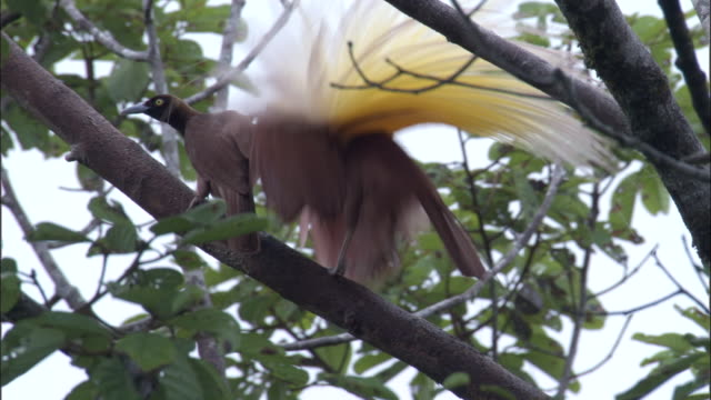 Greater bird of paradise (Paradisaea apoda) displays to female, Papua New Guinea