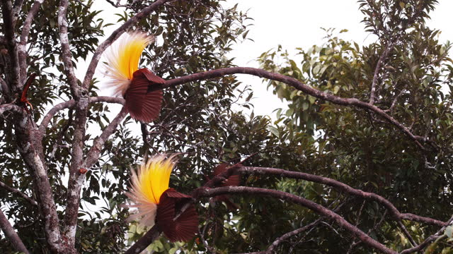 greater bird-of-paradise courting / papua, indonesia - documentary footage stock videos & royalty-free footage