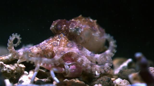 vídeos y material grabado en eventos de stock de greater blue-ringed octopus hunting crab - pulpo