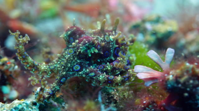 vídeos y material grabado en eventos de stock de greater blue-ringed octopus swimming underwater - pulpo