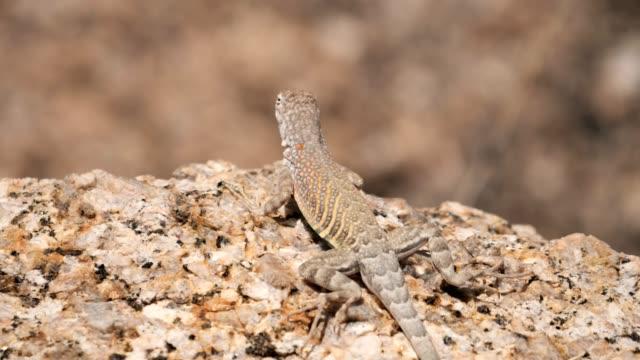 greater earless lizard - sunbathing stock videos & royalty-free footage