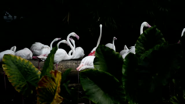 Greater flamingo bird are standing