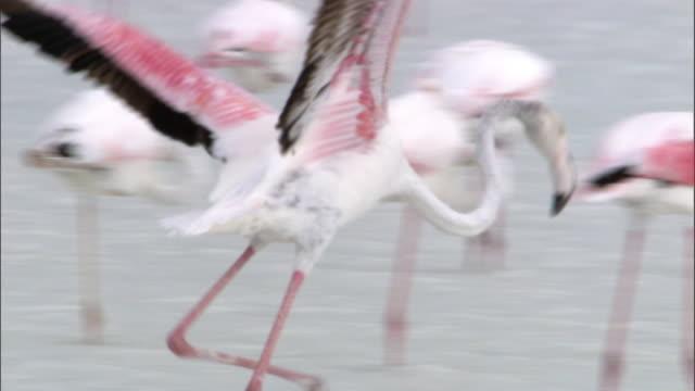 vidéos et rushes de greater flamingo (phoenicopterus roseus) flaps and preens on lake tsimanampetsotsa, madagascar - se lisser les plumes