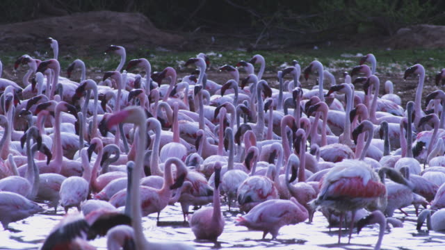 Greater flamingo in foreground then PAN through massed Lesser flamingoes walking through shallows