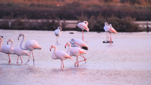 Greater flamingo /Phoenicopterus roseus, wading in the water