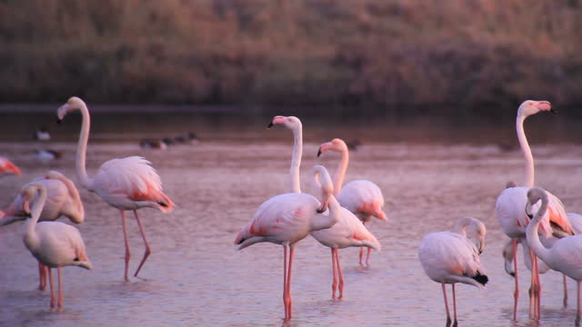 greater flamingo /phoenicopterus roseus, wading in the water - group of animals stock videos & royalty-free footage
