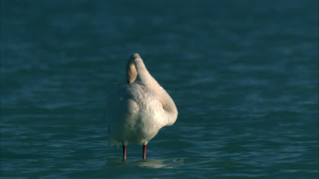 greater flamingo (phoenicopterus ruber) preens in lake tsimanampetsotsa, madagascar - one animal stock videos & royalty-free footage